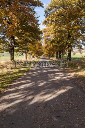 germany hesse oak treelined avenue in
