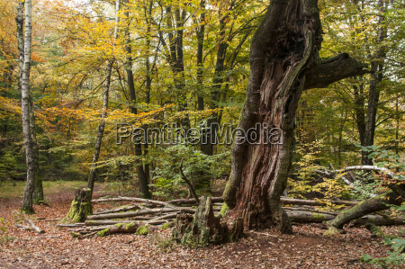 germany hesse decayed beech tree in