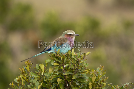africa kenya lilac breasted roller bird