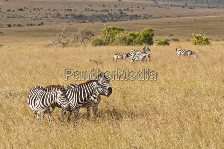 africa kenya group of plains zebra