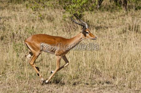 kenya impala running through savanna