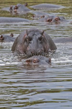 africa kenya hippopotamuses mating in water
