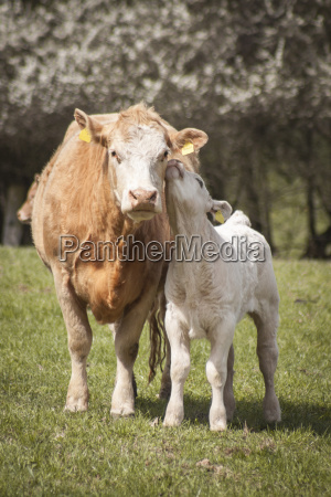 germany cow and calf on a