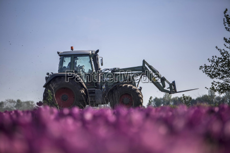 germany purple tulip field with tractor
