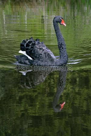 germany bavaria black swan on a