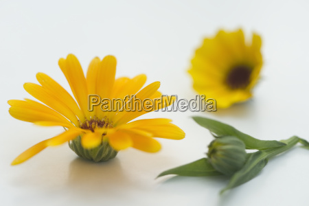 pot marigold calendula officinalis medizinische pflanze