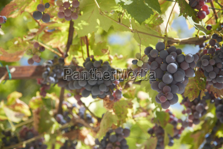 france rhone alpes tulette grape vine