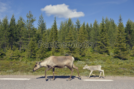 sweden arvidjaur reindeer mother with young