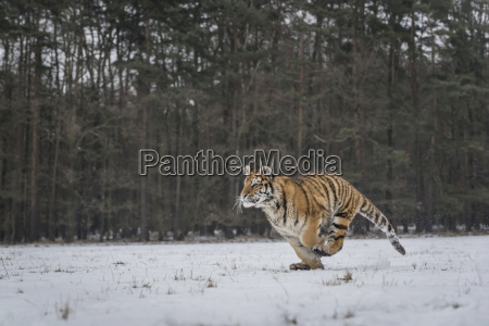 young siberian tiger hunting in snow