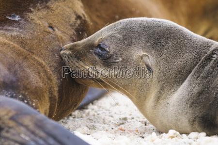 ecuador galapagos genovesa galapagos sea lions