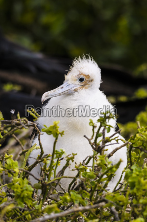 ecuador galapagos genovesa young magnificent frigatebird