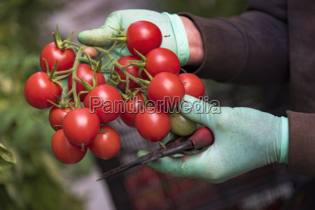 tomatoes in hands of a harvest