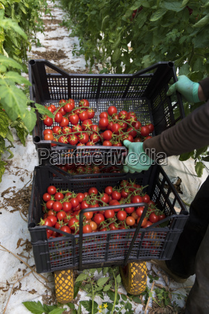 harvest hand carrying boxes of tomatoes