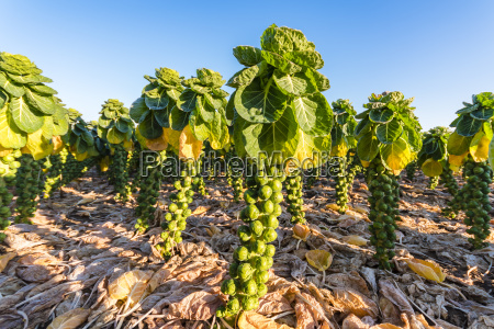 uk scotland east lothian brussels sprout