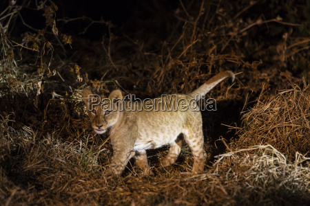 botswana tuli block lion cub at