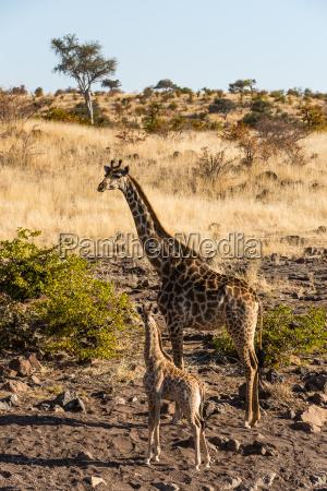 botswana tuli block giraffe with young