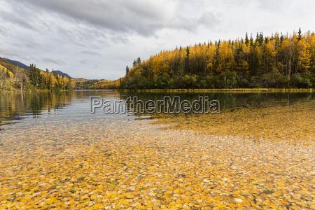 usa alaska autumn leaves in long
