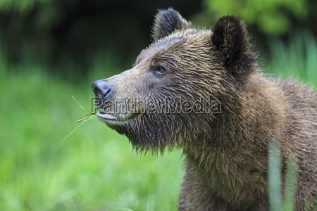 canada khutzeymateen grizzly bear sanctuary portrait