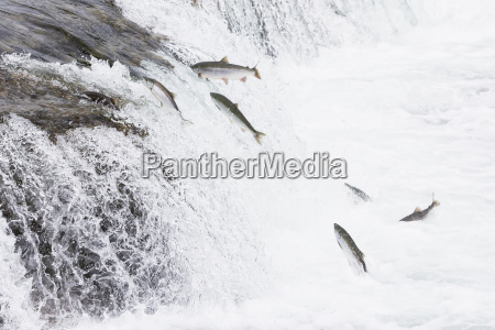 usa alaska katmai nationalpark king salmon