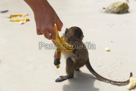 thailand lopburi macaque eating banana