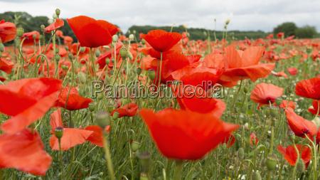 germany field of red poppy flowers