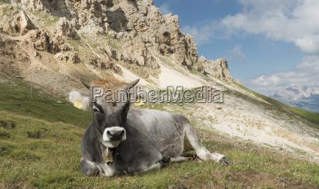 italy south tyrol tierser alpl cow