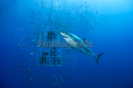 mexico guadalupe pacific ocean three scuba