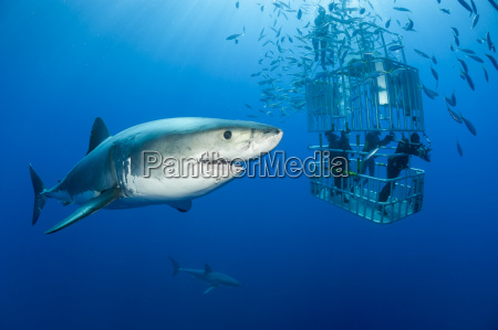 mexico guadalupe pacific ocean scuba divers