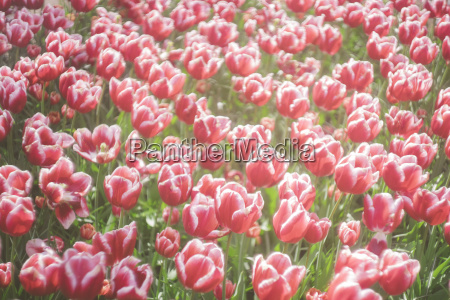 netherlands red white tulips tulipa in