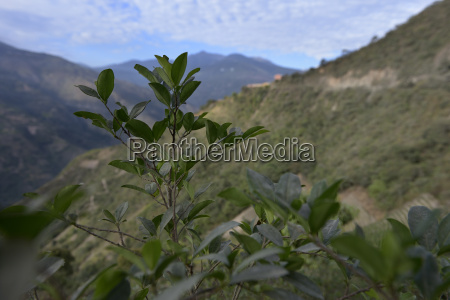 south america bolivia coroico coca erythroxylum