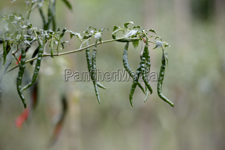 indonesia simeulue growing green chili pods