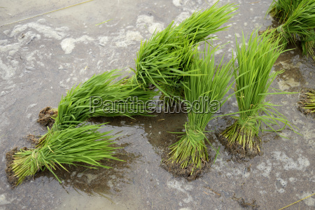 indonesia aceh lam teungo seedlings on