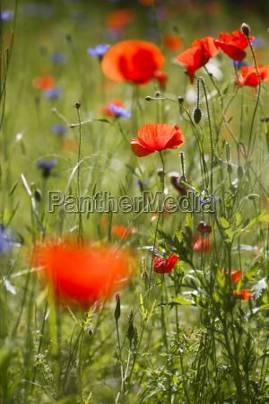 germany corn poppies in wheat field