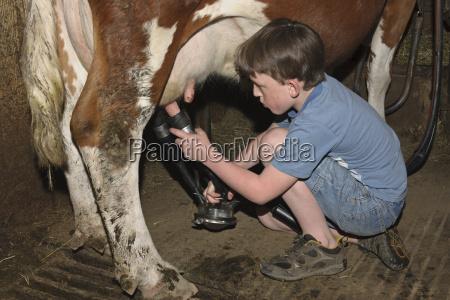 germany baden wuerttemberg boy milking cow