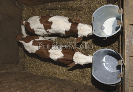 germany baden wuerttemberg young calves drink