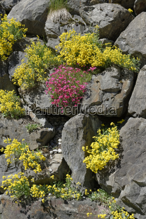 germany bavaria spring flower on stonewall