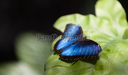 blue morpho butterfly morpho peleides on