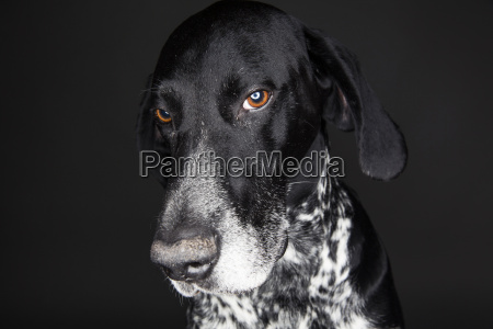 portrait of german shorthaired pointer in