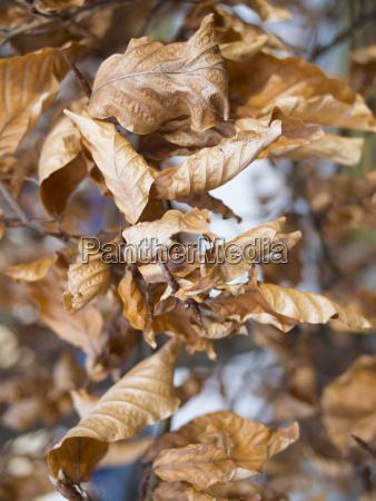 germany munich dry leaves of oak