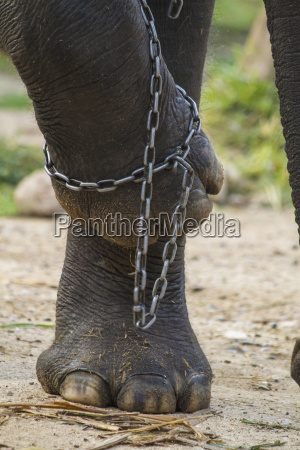 thailand chiang mai elephant legs in