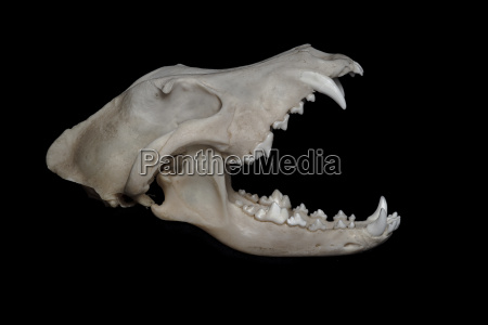 skull of wolf canis lupus in