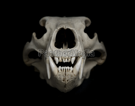 skull of polar bear ursus maritimus