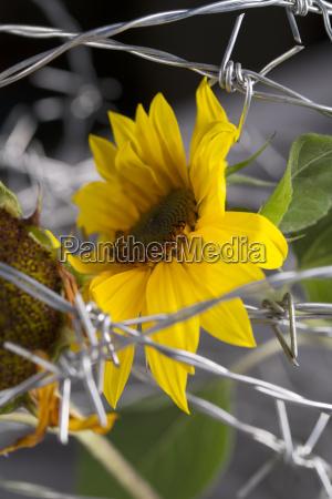 studio sunflower helianthus annuus behind barb