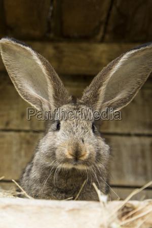germany brandenburg rabbit close up