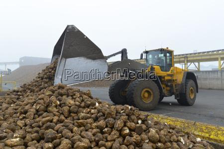 shipment of sugar beets at a