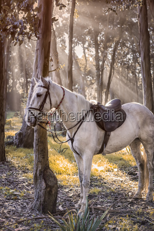 horse tied at tree trunk in
