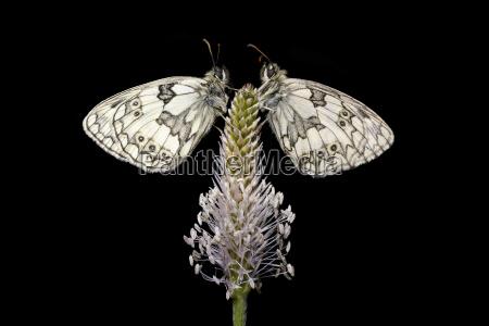 alemanha borboleta branca marmoreada galathea do