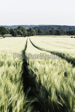 germany lower saxony osnabrueck green cornfield