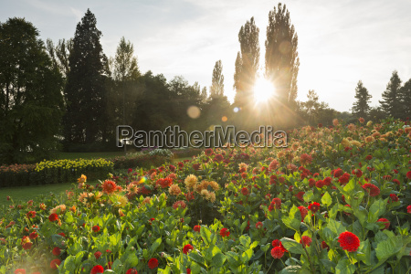 germany constance dahlia flowers during sunset
