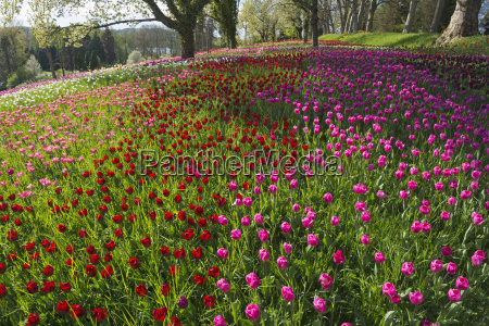 germany constance view of tulip and